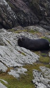 28th Oct 2018 - Chatham Island Seal Colony..
