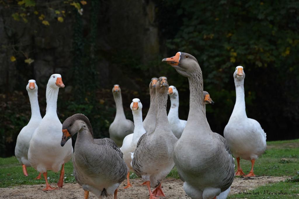 Geese by parisouailleurs