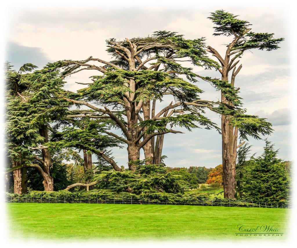 Cedar Trees,Attingham Park,Shropshire by carolmw