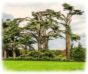 28th Oct 2018 - Cedar Trees,Attingham Park,Shropshire