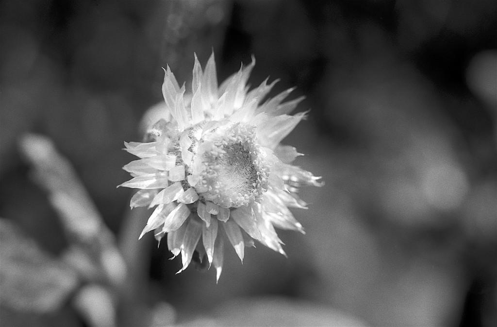 Paper daisy by peterdegraaff