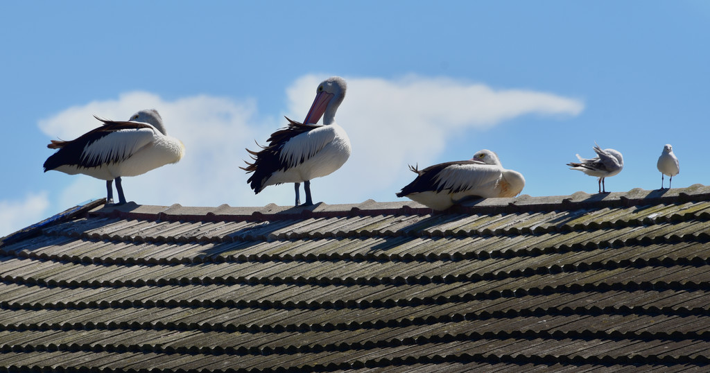 pelicans on a roof by fr1da