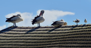 28th Oct 2018 - pelicans on a roof