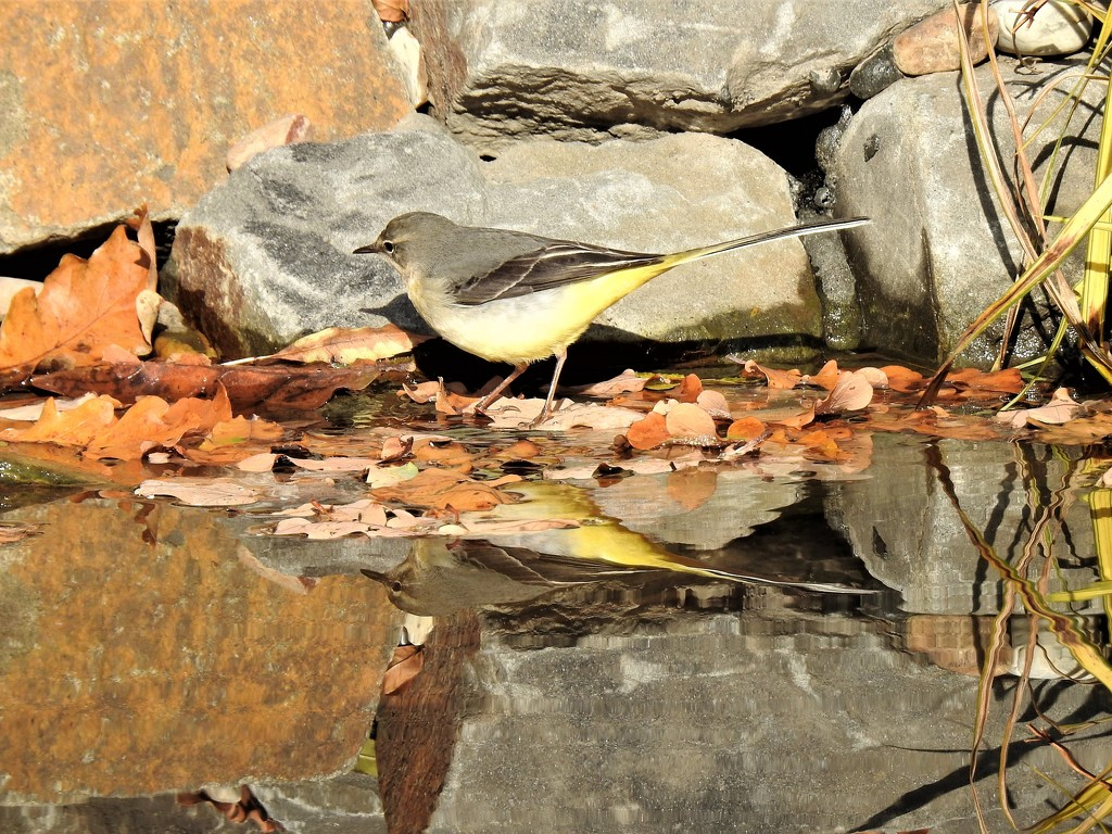 The Grey Wagtail Returns by susiemc