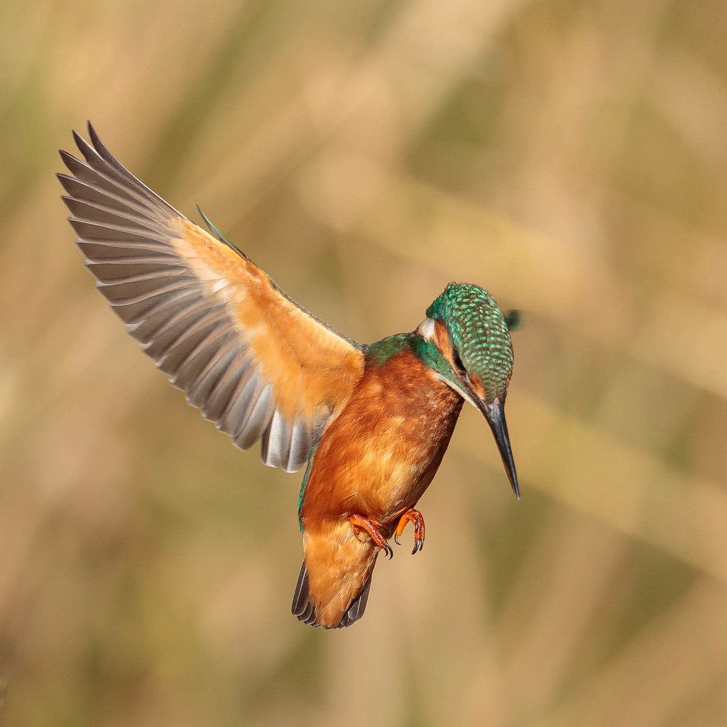 Kingfisher in hover mode!! by padlock