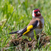 Goldfinch by yorkshirekiwi