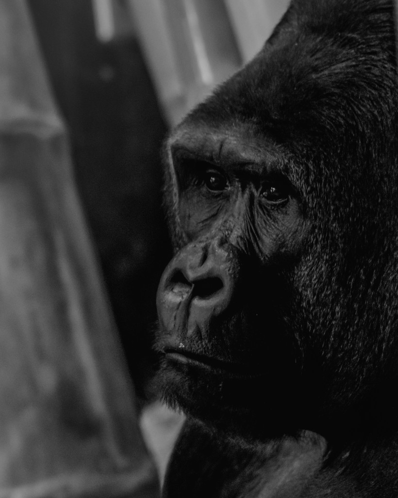Pensive Gorilla by taffy