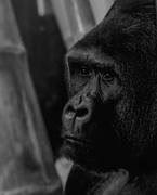 29th Oct 2018 - Pensive Gorilla