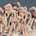 Flamingos by hrs
