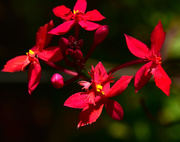 31st Oct 2018 - red bush orchid