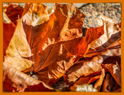 30th Oct 2018 - Crinkly Autumn Leaves