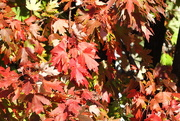 29th Oct 2018 -  Red-y for Autumn