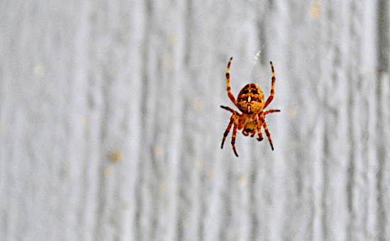 Jack-O-Spider on 365 Project
