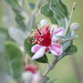 Our first feijoa flower by jodies