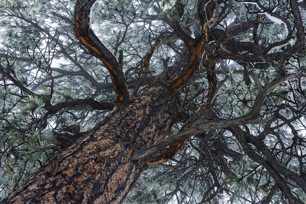 Looking Up in Snowy Ponderosa Pine by jgpittenger