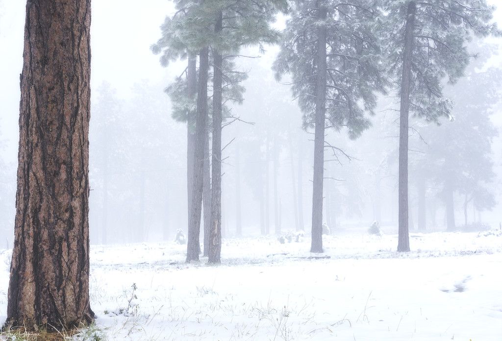 Ponderosa Pines in the Snowy Fog  by jgpittenger