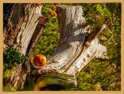 31st Oct 2018 - The Pumpkin Tree ????