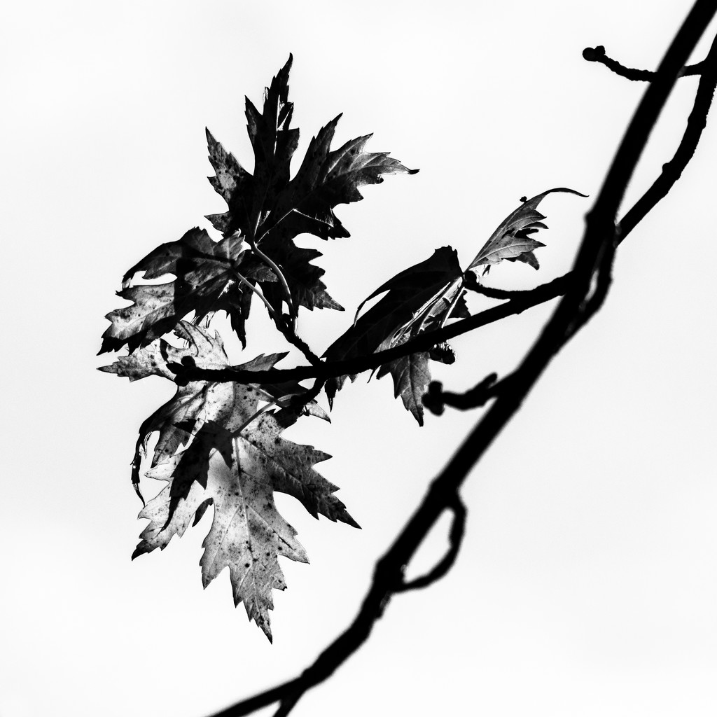 The Last Leaves: B & W by tosee