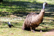 31st Oct 2018 - The tall and the short of Aussie bird life