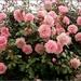 blooming beauties by cruiser