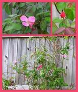 1st Nov 2018 - My rose bush is in full bloom