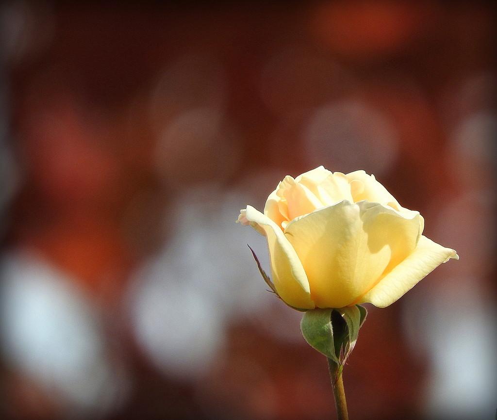 Creamy rose! by homeschoolmom