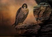 1st Nov 2018 - Peregrin Falcon