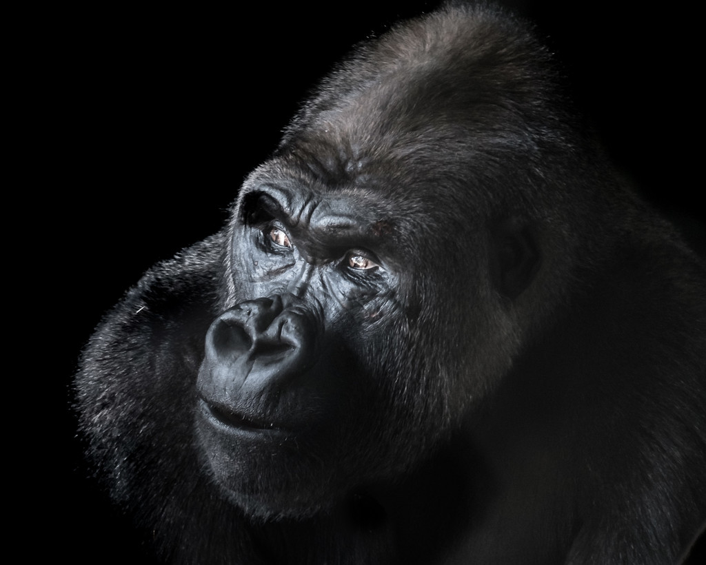 Gorilla #1 by ukandie1