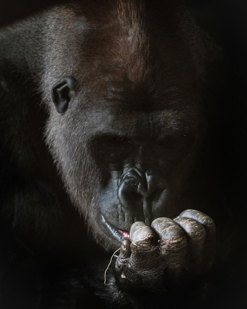Gorilla #2 by ukandie1
