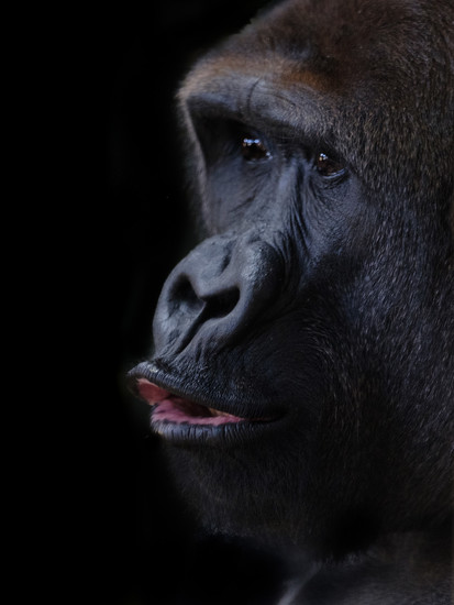 Gorilla #3 by ukandie1