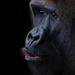 Gorilla #3
