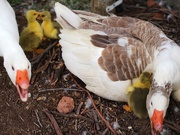 2nd Nov 2018 - Three new Baby Goslings