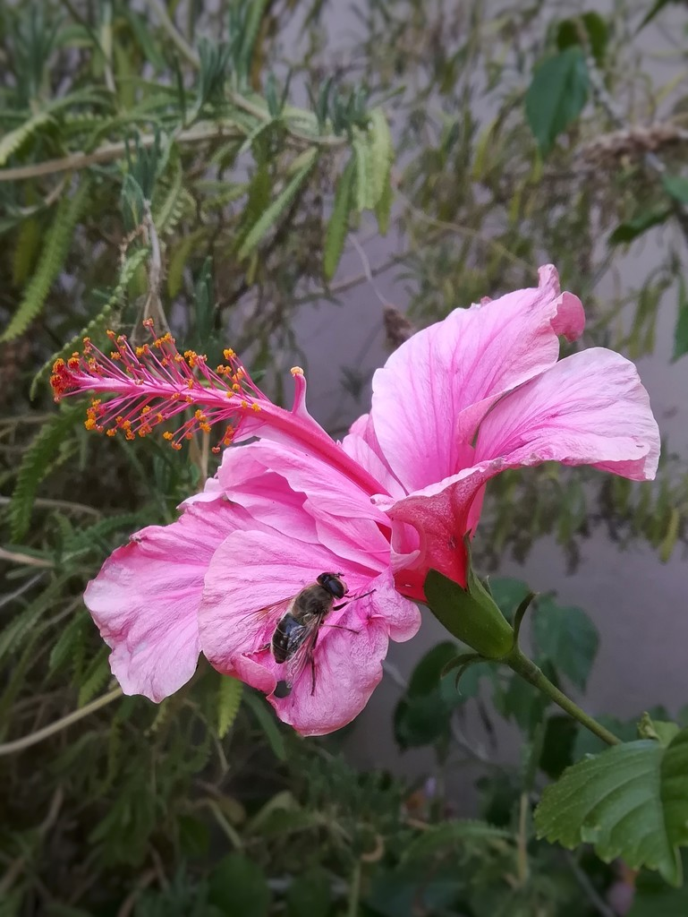 Hi-B-iscus flower  by salza