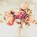 vanity rose by pistache