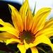 One Determined Sunflower by milaniet