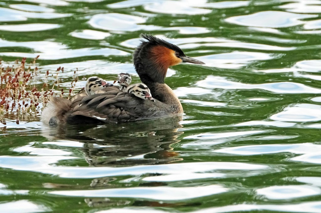 Hitching a ride - three young grebes on the father's back by maureenpp