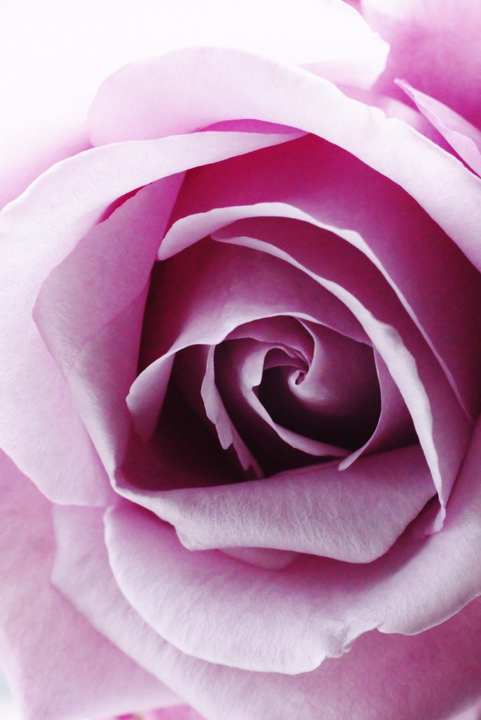 the rose by wenbow