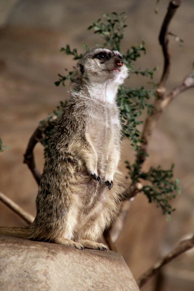 Meerkat by randy23