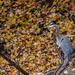 Great Blue Heron among fallen leaves