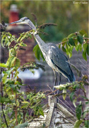 3rd Nov 2018 - Grey Heron