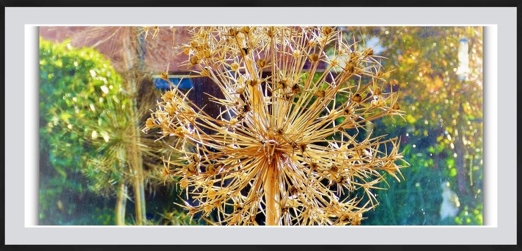 Alium seed head by beryl
