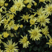 Chrysanthemums - the Yellow Variety