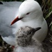 Red billed gull, mother and chick by maureenpp