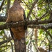 Brown cuckoo dove by pusspup