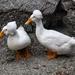 Ducks?