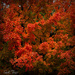 flaming red maple by samae