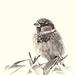 sparrow in monochrome by jernst1779