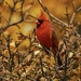 Autumn cardinal by amyk