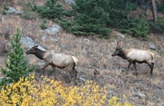 4th Nov 2018 - Elk Foraging