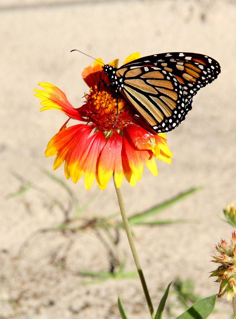 Monarch Migration by calm